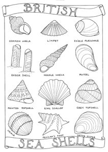 A colouring in page featuring 12 British sea shells